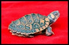 Pastel clown map turtle