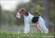 Perro Fox Terrier, Fox Terriers, Terrier Breeds, Wire Fox Terrier, Cute Baby Cow, Baby Cows, Cute Babies, Dog Grooming, Dog Life
