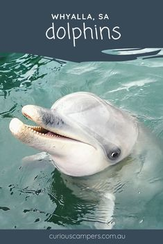 It's hard not to love dolphins. I don�t know what makes them so lovable. I...,  #dolphins #dont #Hard #It39s #lovable #Love #stingrayfishsmile South Australia, Western Australia, Australia Travel, Visit Australia, Stingray Fish, Dolphin Tours, Adventure Activities, Great Barrier Reef, Animals Of The World