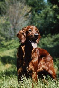 Good Sports: Top Hunting Dogs - Hunting dogs like hounds and gun dogs are especially helpful when hunting. Read about the types of hunting dogs and what their specialties are. Group Of Dogs, Red Dog, Hunting Dogs, Doberman, Mans Best Friend, Dog Breeds, Pup, Irish, Dog Cat