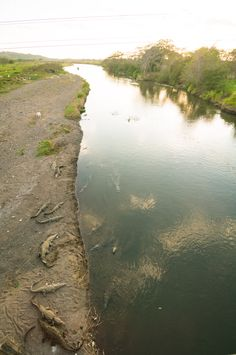 "Crocodiles in Tarcoles, as seen on ""Crocodile Bridge"", Costa Rica"