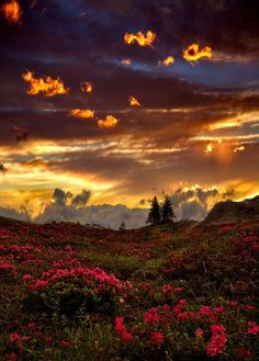 Rhododendrons at sunset