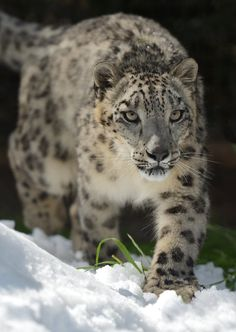 sdzoo:  Snow leopard, Penny, stalking her next victim… probably a gourd. Photo by Mike Wilson.