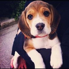 Are you interested in a Beagle? Well, the Beagle is one of the few popular dogs that will adapt much faster to any home. Whether you have a large family, p Cute Beagles, Cute Puppies, Cute Dogs, Dogs And Puppies, Doggies, Toy Dogs, Art Beagle, Beagle Puppy, Animals And Pets