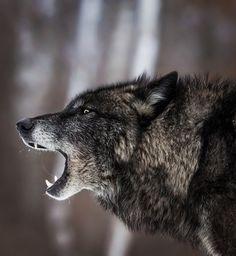 Black Timber Wolf by © cjm_photography - SAVE THE WOLVES