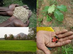 Medicinal Rice Formulations for Diabetes Complications and Heart Diseases (TH Group-60) from Pankaj Oudhia's Medicinal Plant Database