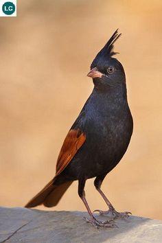 https://www.facebook.com/WonderBirds-171150349611448/ Sẻ đồng mào; Họ Sẻ đồng-Emberizidae; Nam Á và Đông Nam Á    Crested bunting (Melophus lathami) IUCN Red List of Threatened Species 3.1 : Least Concern (LC)(Loài ít quan tâm)