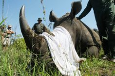 New rhino poaching numbers from South Africa frustrate conservationists, who…