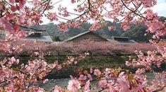 Izu Travel: Kawazu Cherry Blossom Festival