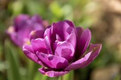"Double tulips' multi-petal layers also mimic the structure of peonies. ""They are probably the closest to peonies in terms of structure and appearance,"" Buterbaugh notes.   - HouseBeautiful.com"