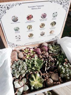 Succulent Treasures Mimicry Box. A Dozen Assorted Premium mimic family gift box. Lithop rocks & more The Original Box.