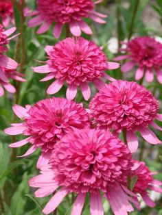 Southern Belle Echinacea Double magenta cones top light pink petals from summer to fall. Its prolific blooms make love. Cottage Garden Plants, Pink Garden, House Plants, Flower Farm, Flower Beds, Flowers Perennials, Planting Flowers, Pink Flowers, Beautiful Flowers