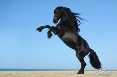 Friesian stallion Ymte