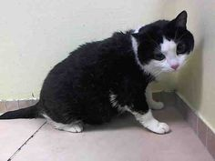 Heidy is an 8 year old kitty that is geriatric and overweight. This snuggle bug is waiting for you to squeeze her tight with your welcoming arms! She is like a big, panda bear that you just want to cuddle up with all of the time! She has a great personality to go along with it!   Heidy A1021111 http://www.petharbor.com/pet.asp?uaid=NWYK1.A1021111  8 yr. Black/ White DSH – 13.6 lbs. – Stray - Spayed