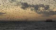 Murmuration at Brighton pier. - Murmuration at Brighton pier.