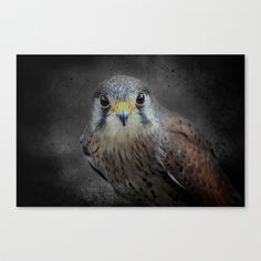 A Kestrel called Rosie Stretched Canvas by F Photography and Digital Art - $85.00
