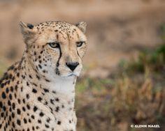 Cheetah by Glenn Nagel on 500px