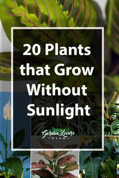 Indoor Container Gardening 20 Plants that Grow Without Sunlight - Garden Lovers Club - Have an area in your home that lacks sunlight? Check out our guide on 20 plants that grow without sunlight. Indoor Plants Low Light, Outdoor Plants, Indoor Shade Plants, Shade Garden Plants, Indoor Flowering Plants, Indoor Flowers, Hanging Plants, Outdoor Spaces, Outdoor Gardens