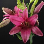 Sulpice Asian Lilies, Lily, Plants, Pink, Orchids, Flora, Plant, Lilies