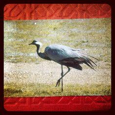 2013-07-06 #Postcard from #China (CN-975658) via #postcrossing #bird #baingoin #Padgram