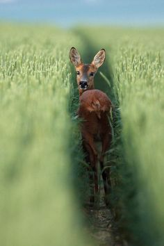 Roe deer Chevreuil dans un champ de blé. by Alain Balthazard