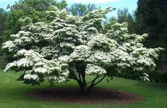 Kousa dogwood tree - won't grow where I live but I think they are beautiful!