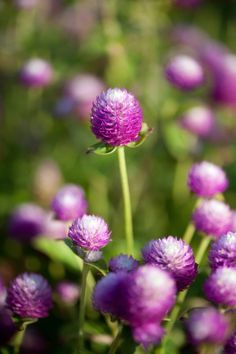 gomphrena by Dwight Sipler via Flickr.