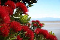 New Zealand Celebrate their Christmas in the Summer. This flower is from the Pohutukawa Tree which is native to our country, also known as the New Zealand Christmas Tree. Beaches, Parks and Streets come alive with these dazzling red trees. Red Tree, Xmas Tree, New Zealand Landscape, New Zealand Houses, Specimen Trees, Nz Art, Kiwiana, Christmas Poster, The Beautiful Country