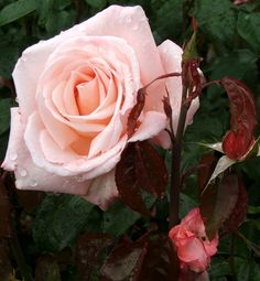 Aotearoa Rose...Aotearoa is the Maori name for the country of New Zealand, where this beautiful porcelain pink hybrid tea rose was bred.