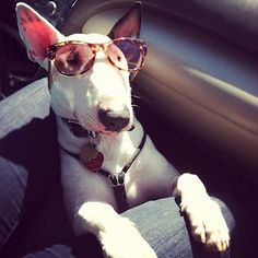 My English Bull Terrier, Poppy. She's too cool for school. I love her :-)