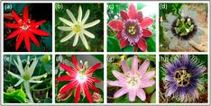 Reference photos for different kinds of Passifloras to make out of crepe paper.