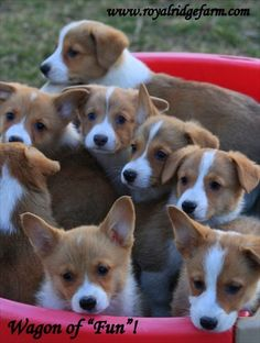 Bucket full of love!!  BABY MURPHY DOGS!