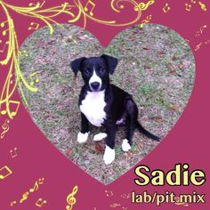 Sadie is one of 7 of Hope's pups that was pulled from a high kill shelter. She will be available for adoption in about 2 wks, however apps are being taken on her now. She is full of life and loving her foster family though she would love a place of...