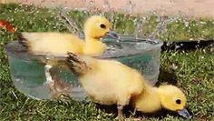 The Absolute Best GIFs: baby ducks in a sprinkler bath #animals