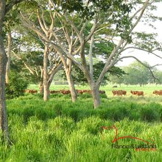La exuberancia de nuestras tierras alimentan cada uno de nuestros #BrahmanRojo #Montería #Ganadería #AmorporelBrahman #Colombia #Pasion @asocebu @fedegan #HaciendasFranciaYLusitania