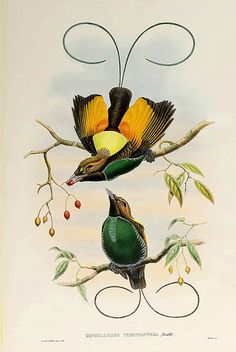 023-Ave del paraiso alas de oro-The birds of New Guinea and the adjacent Papuan islands..1875-1888-Vol I-Gould y Sharpe
