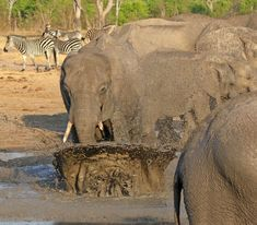 Is there any sight more mesmerising than watching ellies enjoying a mudbath? Zimbabwe, Best Games, Wilderness, Safari, National Parks, Elephant, Camping, Animals, Wildlife Nature