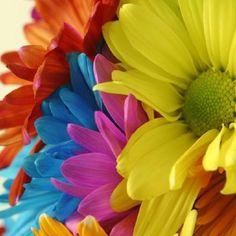 Rainbow Gerber Daisy Bouquet for the bride (with an added UP Ellie Badge! Rainbow Flowers, Colorful Flowers, Rainbow Colors, Amazing Flowers, Beautiful Flowers, Nice Flower, Beautiful Things, Garden Maintenance, Taste The Rainbow