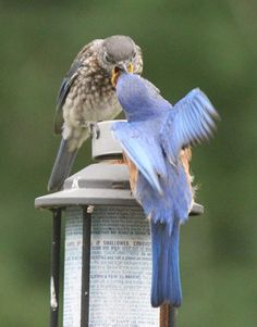 "from: Kathy Drake Browning: ""Eastern Bluebird father feeds juvenile male. Georgia"""