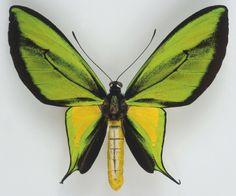 Nouvelle-Guinée occidentale, Torricelli Range, Ornithoptera paradisea borchi, mâle, collecté en 1974.
