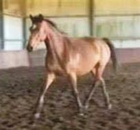 $3500 Breed: Warmbloods Height: 16.0hh Age: 5yo Sex: Mare Location: Raymond Terrace, NSW, 2324  Richmeed Medallion, Regardez Moi and Staccato. Will excel in dressage, showjumping or eventing. Athletic, sensible, trainable temperament. A great free jump. Very friendly, easy to catch/lunge/trim.