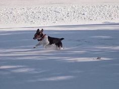Ai-chan. When she was young and ran around in snowy backyard.若かったころの我が家の愛犬・愛チャン。雪が降ると外を走り回っていました。dogs #beagle #family#pet#pets#beaglesofinstagram #犬 #ビーグル #ペット#冬#雪#winter#snow