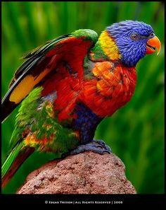 Lorikeets are all colors of the rainbow & quite awesome! The Long Beach Aquarium has a whole enclosure full of these. They are just plain awesome with all their rainbow colors!
