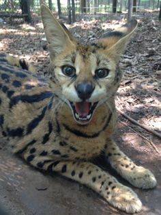Shanara is an African Serval that now calls Noah's Ark home. Although still a bit shy, we are able to get a good shot of her now and then. We believe she will warm up pretty soon and let us all see her more frequently. #serval #noahsark #catscanbeshy www.noahs-ark.org