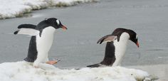 Gentoo penguins have been known to make as many as 450 dives in one day to forage for food. Gentoo Penguin, Antarctica, Cute Animals, Wildlife, Birds, Smile, Pictures, Food, Pretty Animals