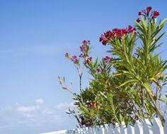immergrüne Pflanzen für den Garten Balkon die Terrasse Stecklinge Erdbeerbaum