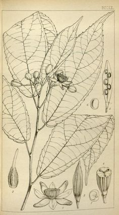 1871 - Icones plantarum or figures, with brief descriptive characters and remarks, of new or rare plants, selected from the author's herbarium.  by Hooker, Joseph Dalton
