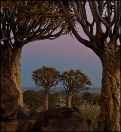 Wellicht een klassieker bij ieder Namibië-bezoek: het kokerboomwoud of quiver tree forest nabij Keetmanshoop. Deze karakteristieke boom behoort tot de Aloe dichotoma species. Door communitylid rafiki222 - NG ReisCommunity ©