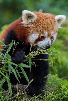Red Panda. Photo by Pasqual Demmenie