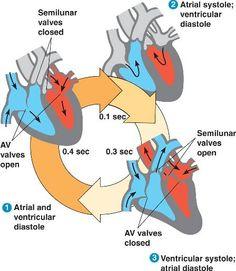 Cardiac Cycle: stysole and Diastyole